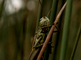 Moerassprinkhaan rust in biotoop