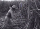 News from the West: sugercane cultivation in Suriname